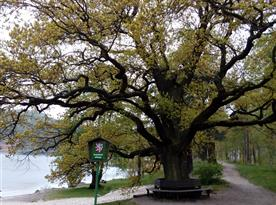 památný strom  u Husí pláže Máchova jezera