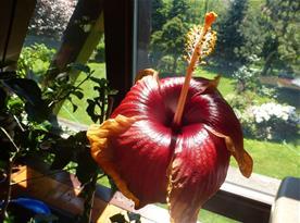 v létě krášlí terasu barevná záplava ibišků